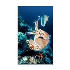Pharaoh cuttlefish Rectangle Car Magnet