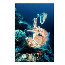 Pharaoh cuttlefish Postcards (Package of 8)