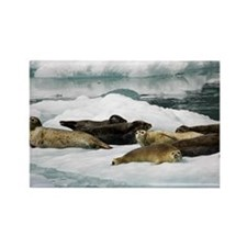 Harbor seals Phoca vitulina resti Rectangle Magnet