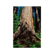 Redwood trees Rectangle Magnet