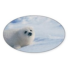 Harp seal pup (Phoca groenlandica)  Decal
