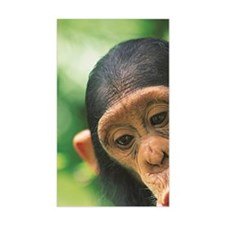 Young Chimpanzee Pan troglodyt Decal