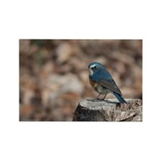 Red flanked bluetail. Rectangle Magnet