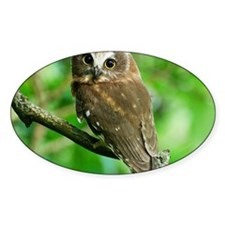 Juvenile Northern Saw-whet owl with Decal