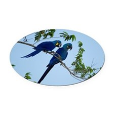 Two hyacinth macaws Anodorhynchus  Oval Car Magnet