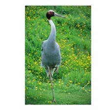 Sarus crane Postcards (Package of 8)