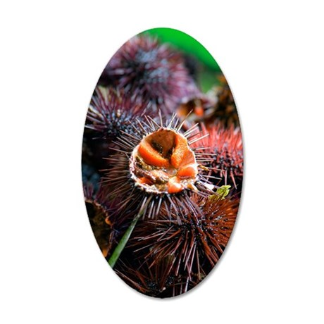 Edible sea urchin 35x21 Oval Wall Decal