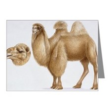 Illustration of Bactrian Cam Note Cards (Pk of 20)