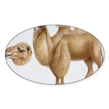 Illustration of Bactrian Camel (Cam Decal