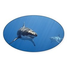 Two male great white sharks swimmin Decal