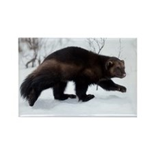 Wolverine in the snow Rectangle Magnet