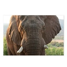 Male African Bush Elephan Postcards (Package of 8)