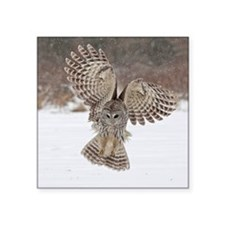 "Barred owl hunting Square Sticker 3"" x 3"""
