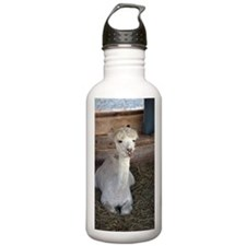A young Alpaca sitting Water Bottle