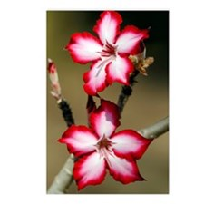 Impala lily flowers (Aden Postcards (Package of 8)