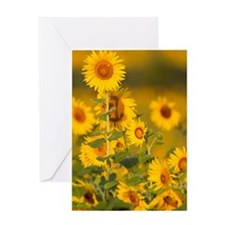 Fields of sunflowers in the early mo Greeting Card