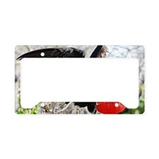 Male frigate bird, Galapagos  License Plate Holder