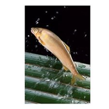 Japanese Trout Postcards (Package of 8)