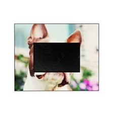 Close up of red Boston terrier Picture Frame