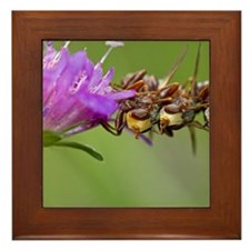 Thick-headed flies Sicus ferrugineus Framed Tile