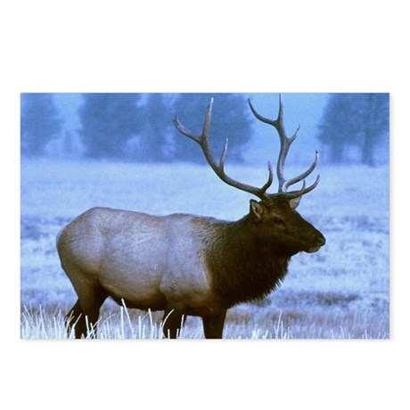 Bull Elk Postcards (Package of 8)