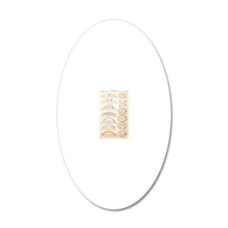 Embryonic development, histo 20x12 Oval Wall Decal