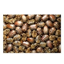 Seeds of the castor oil p Postcards (Package of 8)