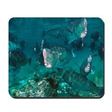 Bumphead parrotfish Mousepad
