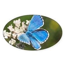 Adonis blue butterfly Decal