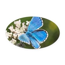 Adonis blue butterfly Oval Car Magnet