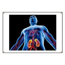 Blood vessels and kidneys, artwork Banner