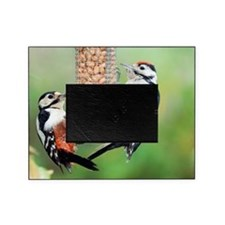 Great spotted woodpeckers feeding Picture Frame