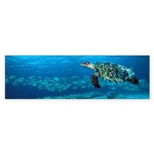 Hawksbill turtle Bumper Sticker