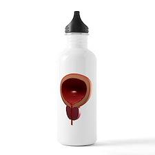 Healthy male bladder,  Water Bottle