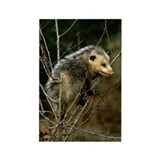 Inquisitive Opossum Fur Baby Rectangle Magnet