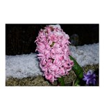 Snow Hyacinth Postcards (Package of 8)