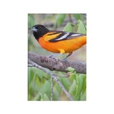 Northern Oriole Rectangle Magnet