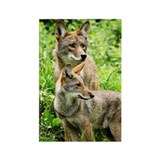Coyote Photograph Magnet (10 pack)