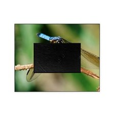 Blue Dasher Skimmer Dragonfly Picture Frame