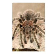 Rosehair Tarantula Postcards (Package of 8)