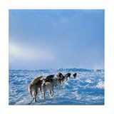 Alaska Dog Mushing Tile Coaster