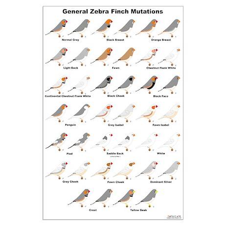 zebra finch mutations - photo #2