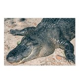 Postcards (Package of 8) Alligator