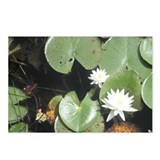 Postcards (Package of 8) Lilypad