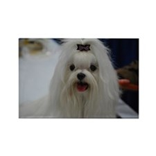 Maltese Dog Rectangle Magnet