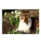 Sheltie Spring Postcards (Package of 8)