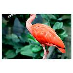 Stunning Scarlet Ibis Large Poster
