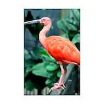 Stunning Scarlet Ibis Mini Poster Print