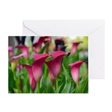 Pink calla lily flowers Greeting Card