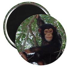 Unique Chimp Magnet
